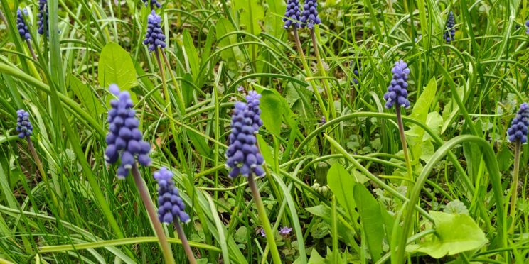 Kwiaty szafirki w młodej, zielonej trawie